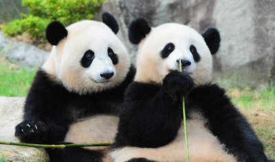 Panda_ouhin_touhin